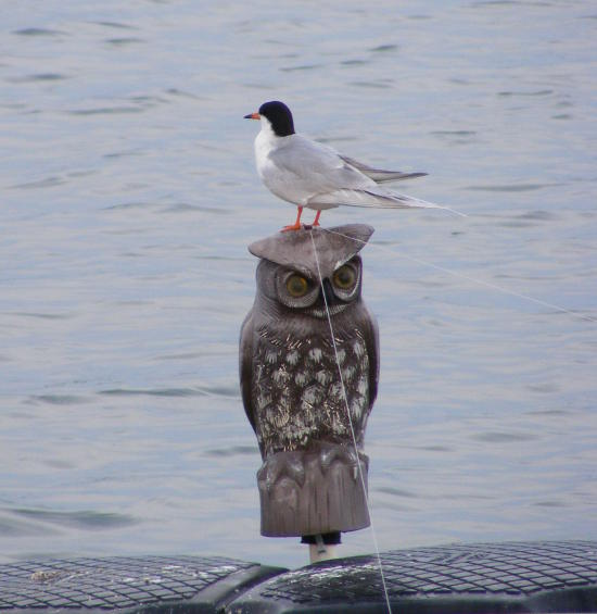 seagull on top of plastic owl