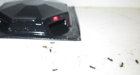 ants around ant trap