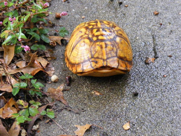 turtle pulled into shell